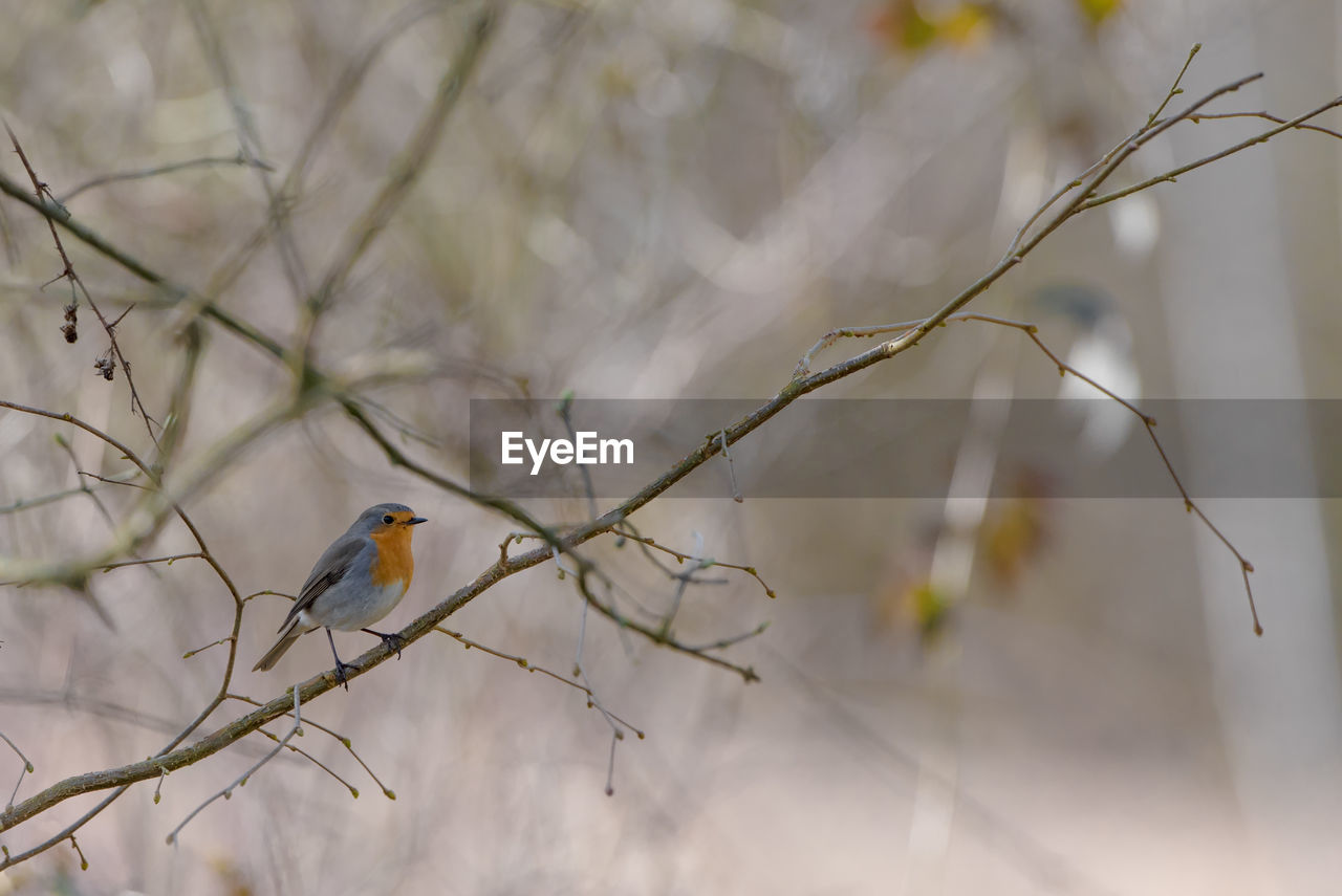 bird, vertebrate, animals in the wild, animal themes, animal wildlife, animal, perching, one animal, tree, plant, no people, branch, focus on foreground, day, nature, bare tree, outdoors, selective focus, beauty in nature, robin