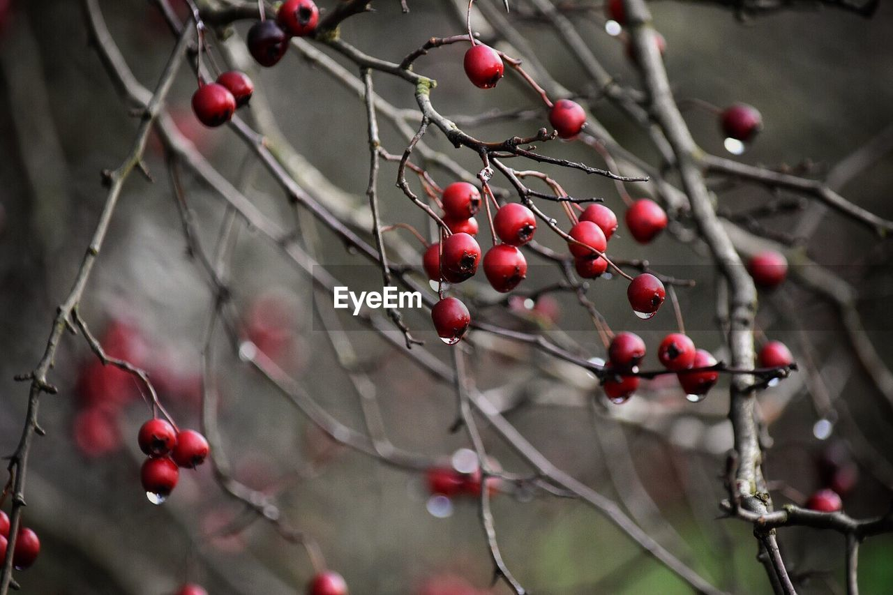 fruit, food, food and drink, berry fruit, healthy eating, red, growth, focus on foreground, plant, close-up, no people, tree, freshness, day, nature, twig, wellbeing, selective focus, branch, beauty in nature, outdoors, rowanberry, ripe