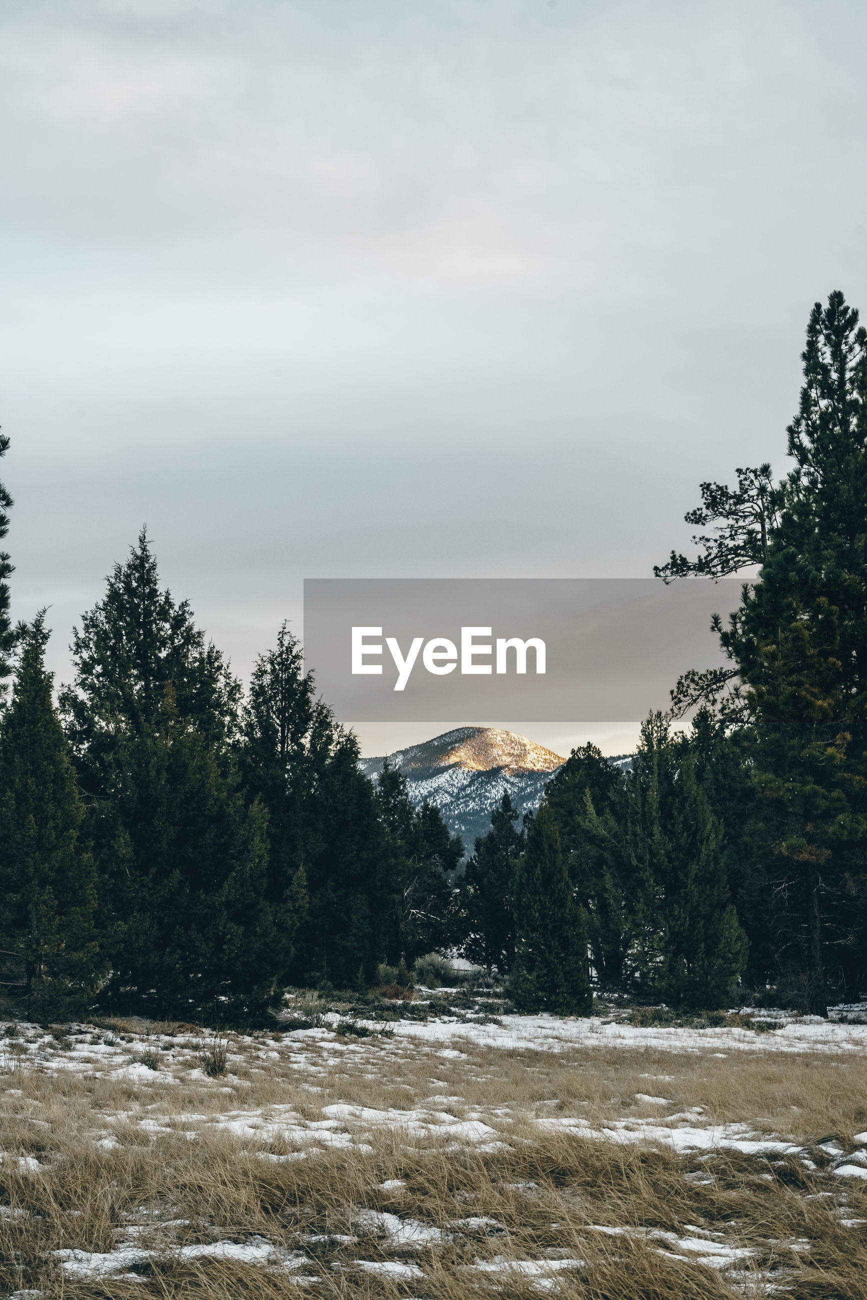 PINE TREES ON SNOWCAPPED MOUNTAIN AGAINST SKY