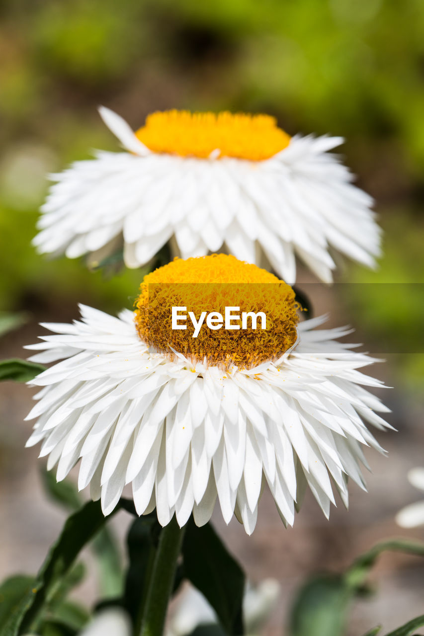 flower, flowering plant, vulnerability, fragility, plant, freshness, beauty in nature, white color, petal, growth, flower head, inflorescence, close-up, focus on foreground, pollen, nature, daisy, yellow, day, no people