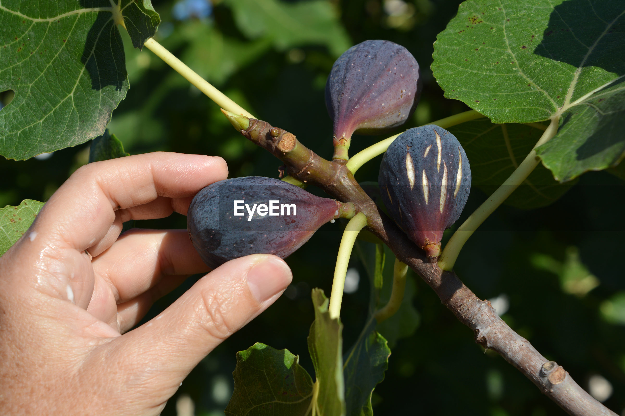 Picking organic ripe purple figs off the tree in summer