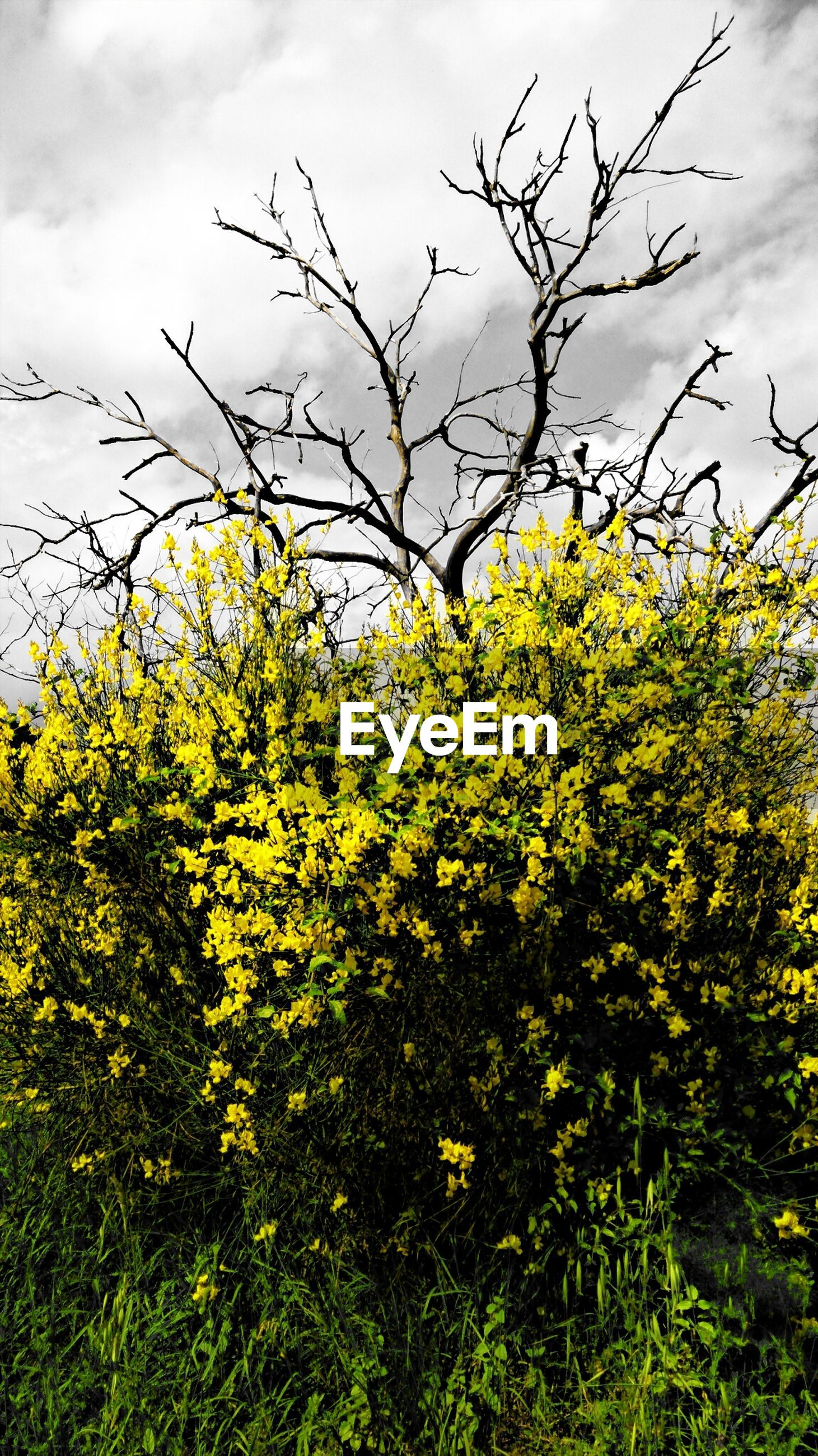 yellow, flower, growth, freshness, beauty in nature, sky, nature, field, fragility, plant, tree, branch, blooming, in bloom, blossom, tranquility, cloud - sky, low angle view, green color, outdoors