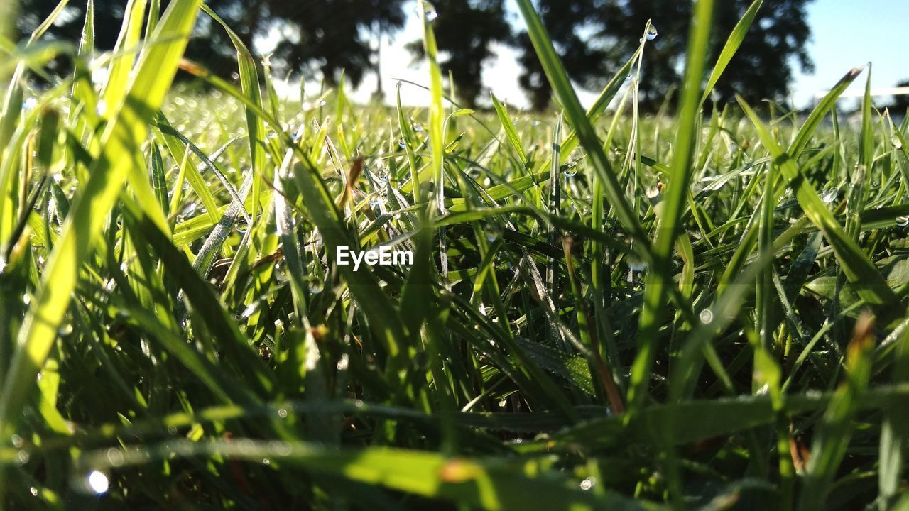 plant, green color, growth, beauty in nature, nature, day, grass, field, close-up, selective focus, no people, tranquility, land, leaf, outdoors, plant part, blade of grass, sunlight, freshness, focus on foreground, dew