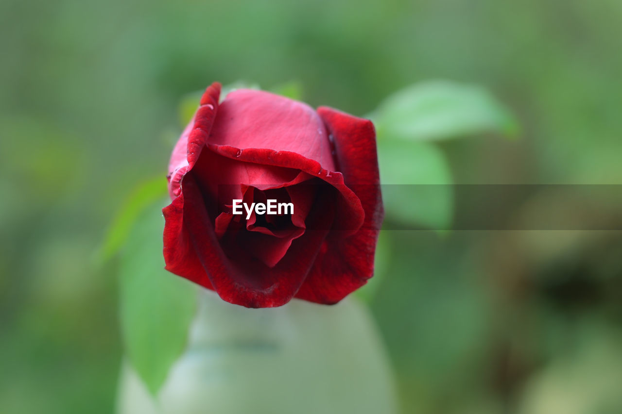 flower, flowering plant, beauty in nature, plant, red, rose, vulnerability, fragility, petal, inflorescence, flower head, rose - flower, freshness, close-up, nature, growth, focus on foreground, no people, outdoors, springtime, softness