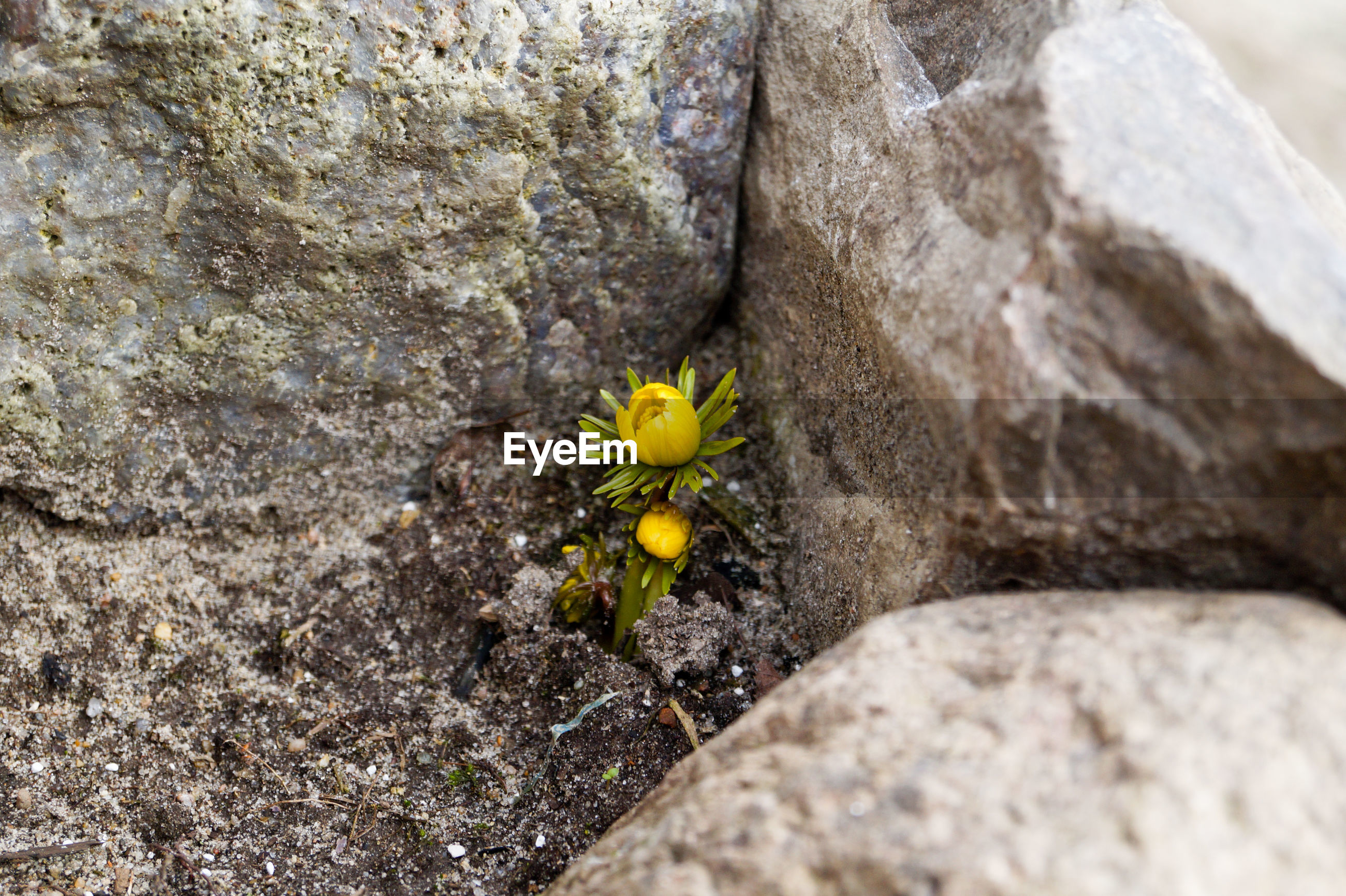 High angle view of flower growing amidst rock