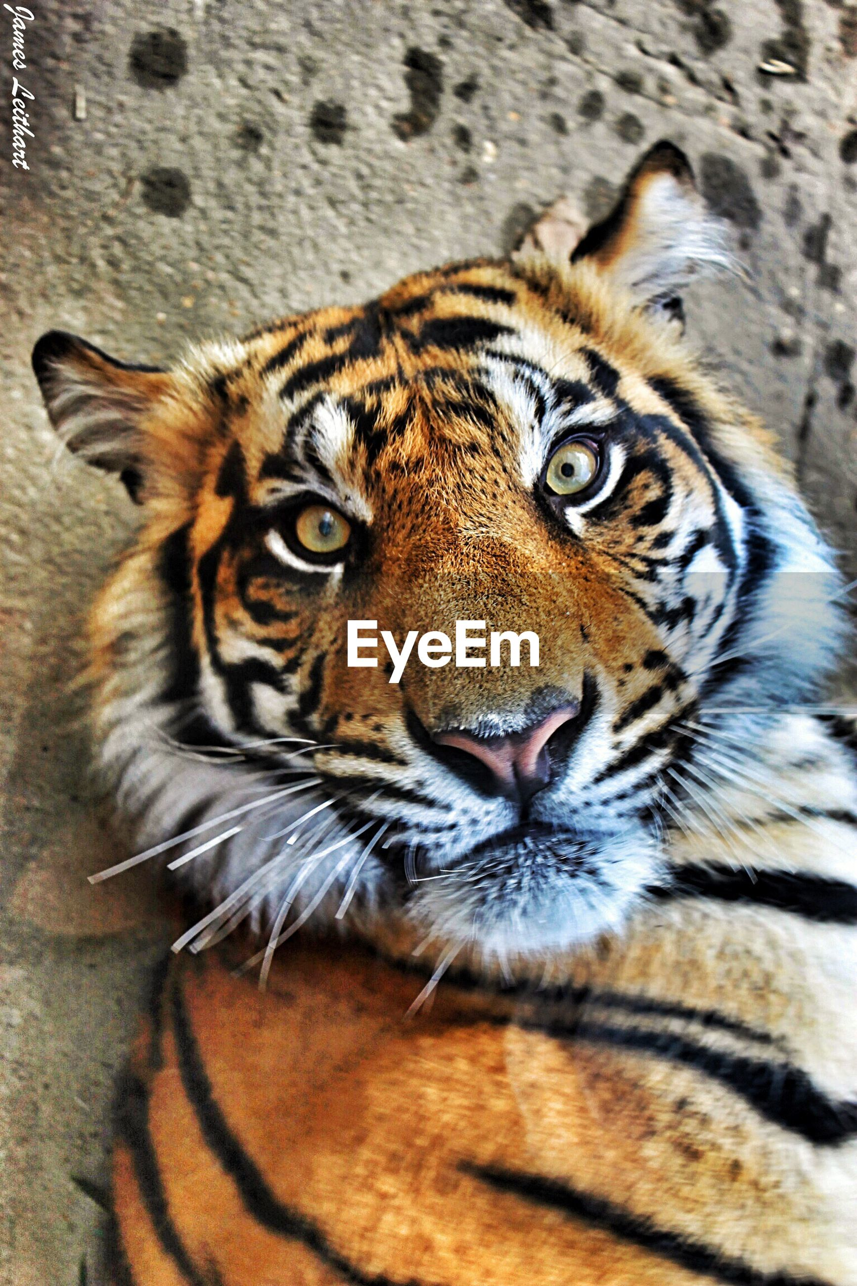 animal themes, one animal, animal markings, animals in the wild, mammal, wildlife, tiger, natural pattern, whisker, close-up, safari animals, big cat, portrait, focus on foreground, animal head, looking at camera, endangered species, undomesticated cat, leopard, outdoors