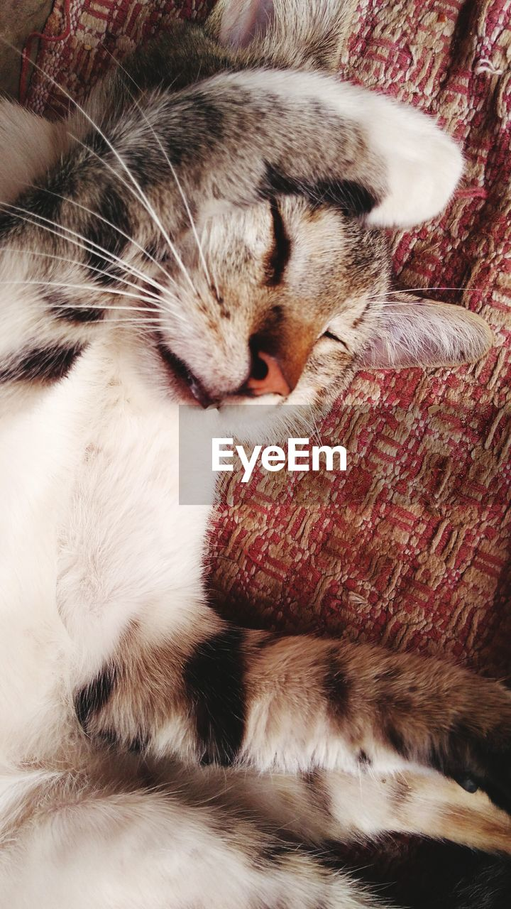 domestic cat, one animal, pets, domestic animals, animal themes, mammal, feline, cat, sleeping, eyes closed, whisker, indoors, lying down, no people, relaxation, close-up, day
