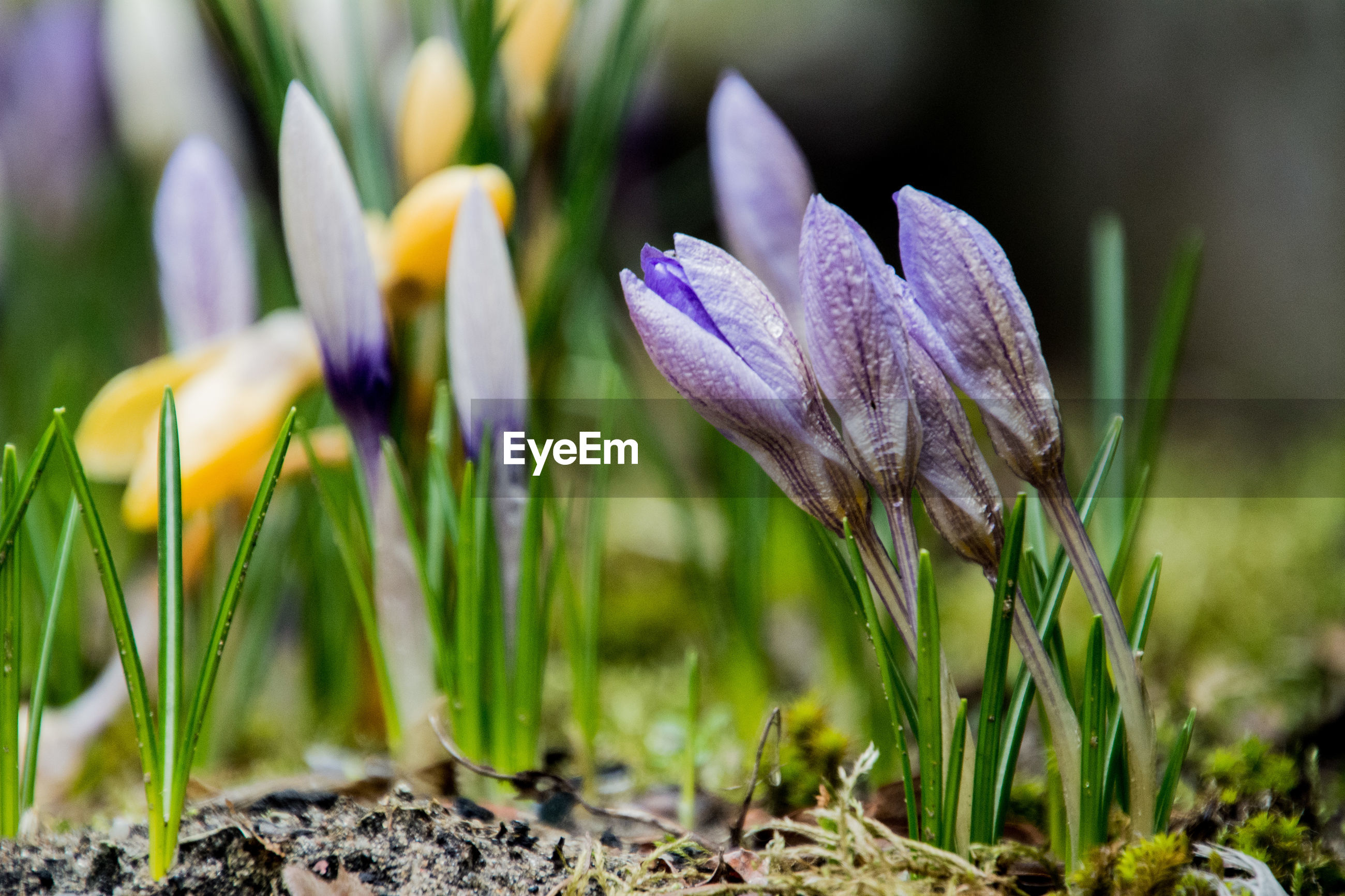 CLOSE-UP OF CROCUS BLOOMING IN FIELD