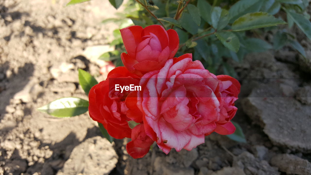 flower, petal, red, rose - flower, nature, flower head, fragility, no people, beauty in nature, growth, focus on foreground, blooming, close-up, plant, outdoors, freshness, day