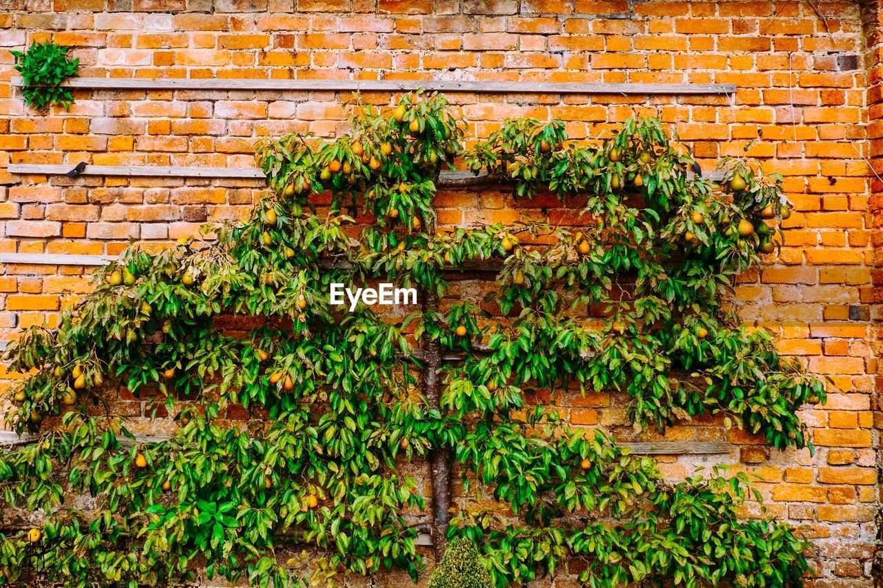Fruits Growing On Tree Against Brick Wall
