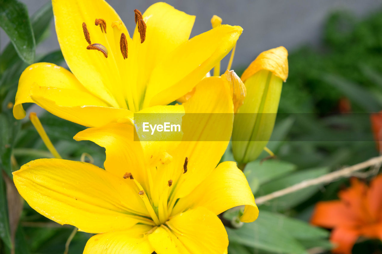 Close-Up Of Yellow Lily Flowers Blooming Outdoors