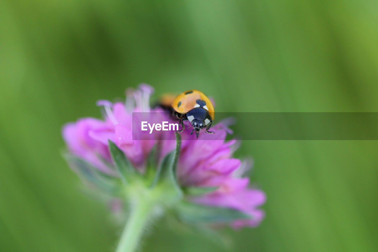 flowering plant, flower, fragility, plant, beauty in nature, vulnerability, insect, close-up, petal, invertebrate, freshness, selective focus, flower head, growth, animal wildlife, inflorescence, animal, animals in the wild, animal themes, one animal, no people, purple, pollination, pollen