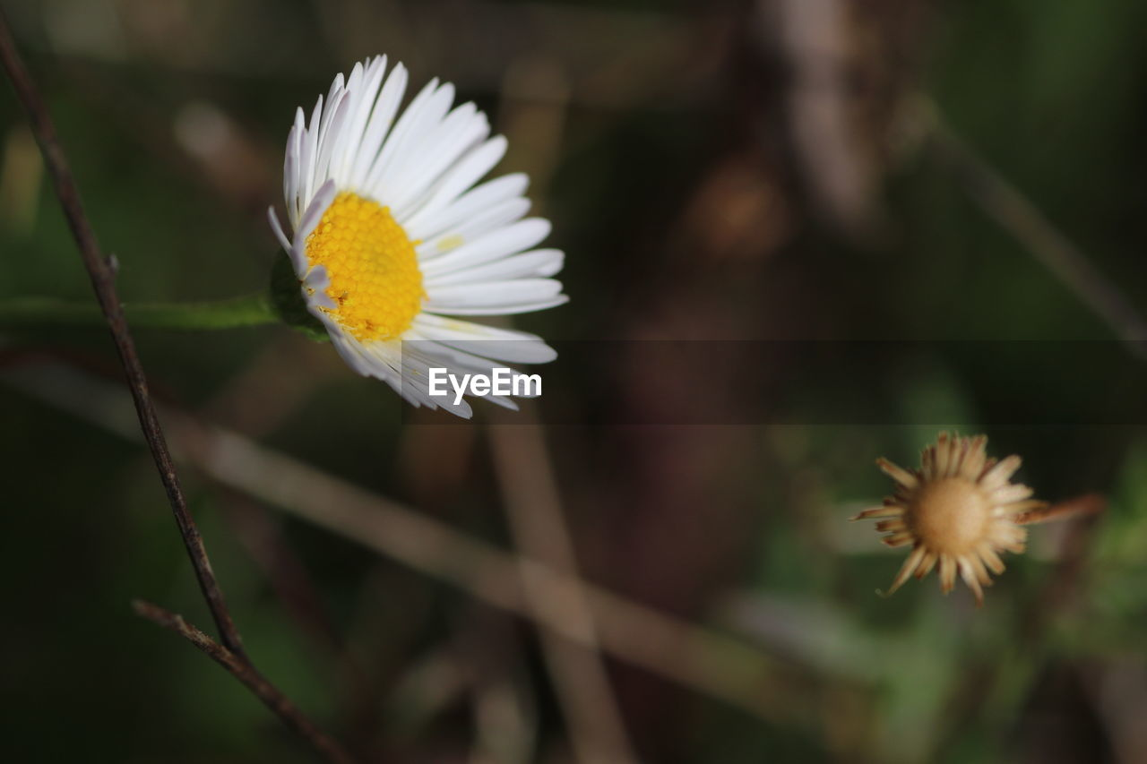 flower, petal, fragility, flower head, beauty in nature, nature, growth, freshness, white color, plant, no people, close-up, blooming, day, focus on foreground, outdoors, stamen