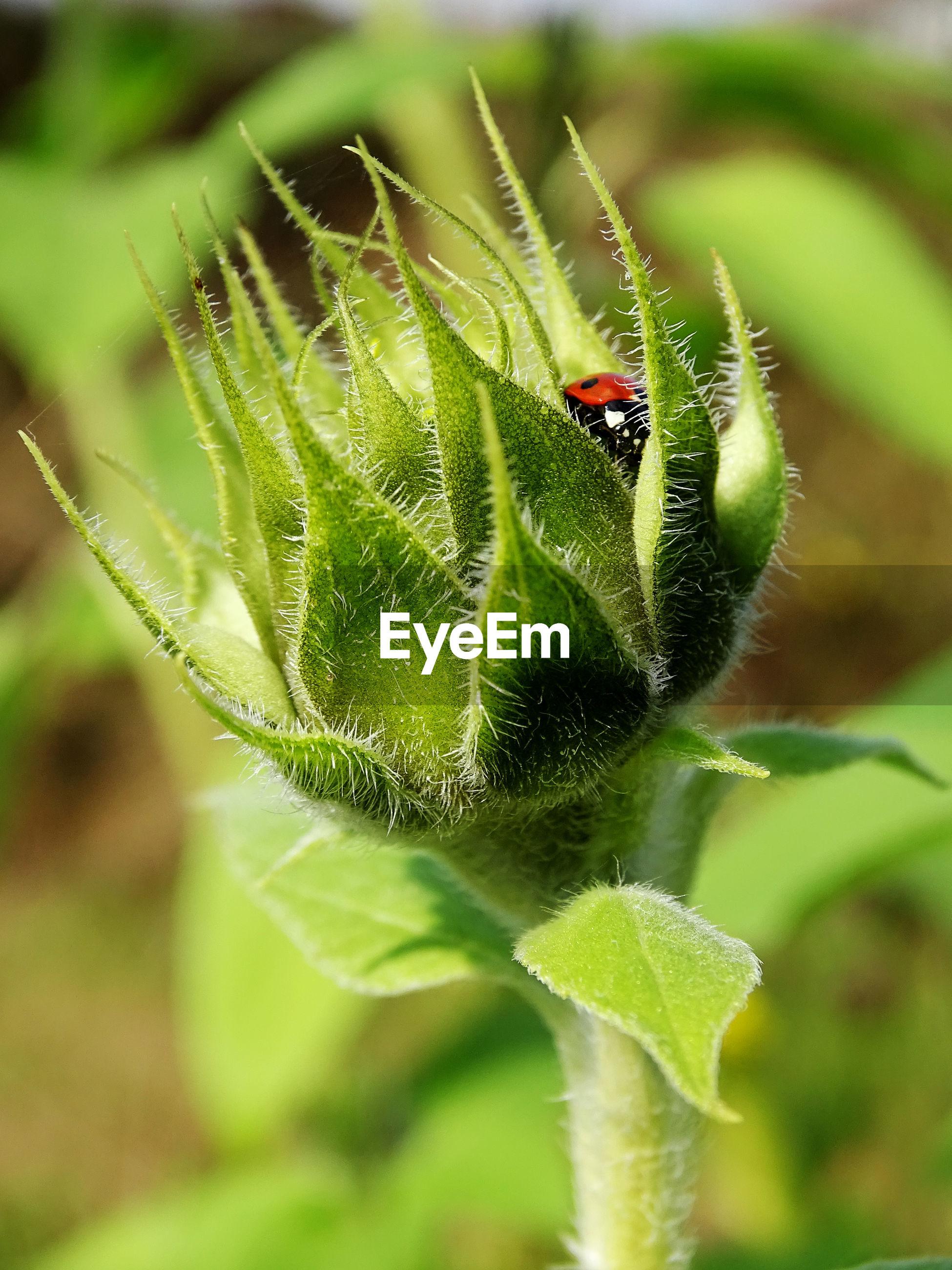Close-up of ladybug pollinating on plant