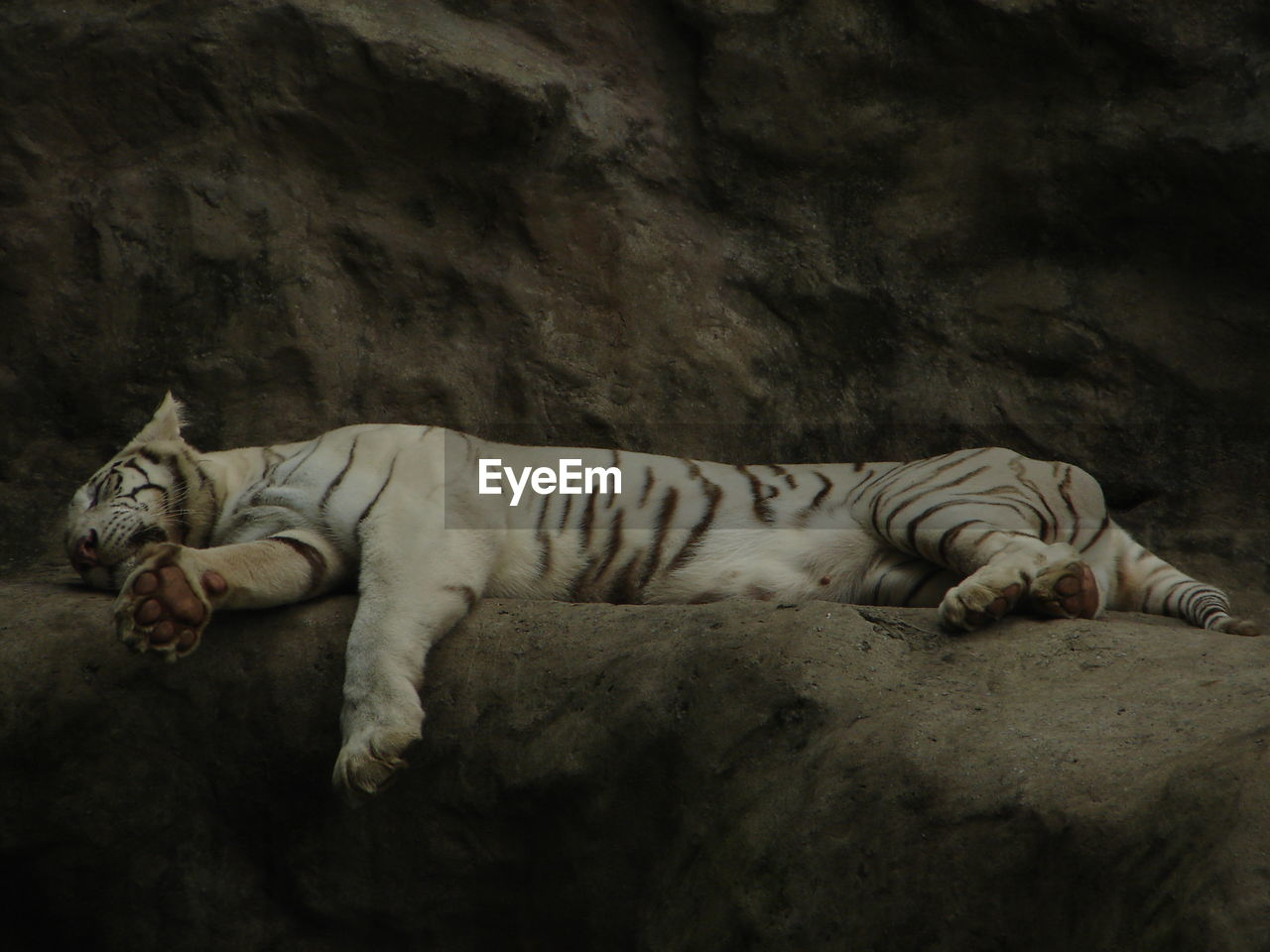 mammal, animal themes, animal, tiger, feline, relaxation, one animal, cat, vertebrate, no people, big cat, pets, lying down, resting, full length, domestic animals, rock, animals in the wild, animal wildlife, rock - object, white tiger