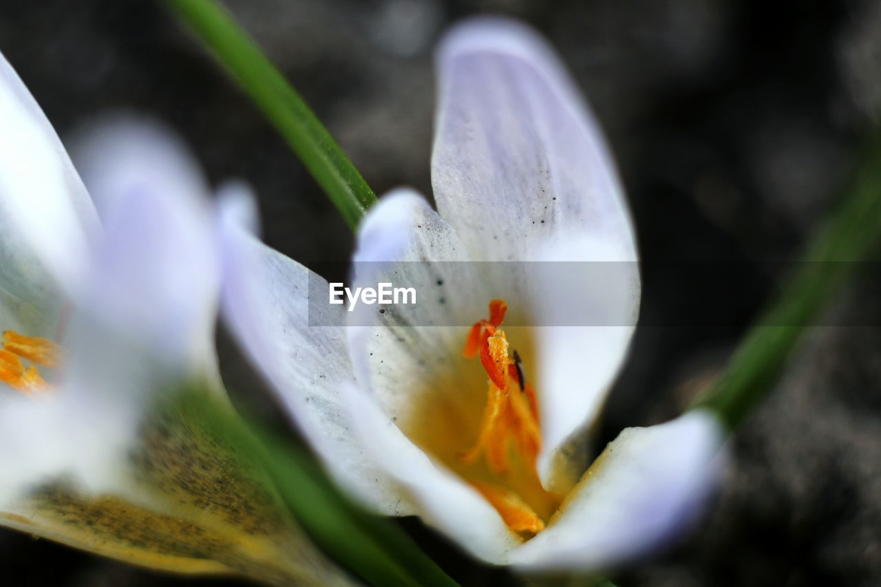 flower, petal, selective focus, freshness, beauty in nature, nature, white color, growth, fragility, flower head, day, plant, close-up, outdoors, no people, snowdrop, blooming, animal themes, crocus