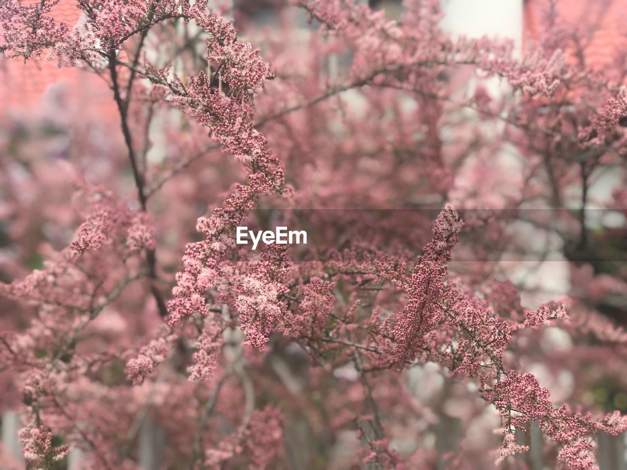 flowering plant, flower, plant, beauty in nature, tree, freshness, pink color, growth, blossom, springtime, fragility, branch, nature, vulnerability, no people, close-up, day, selective focus, cherry blossom, outdoors, cherry tree, flower head, plum blossom, spring