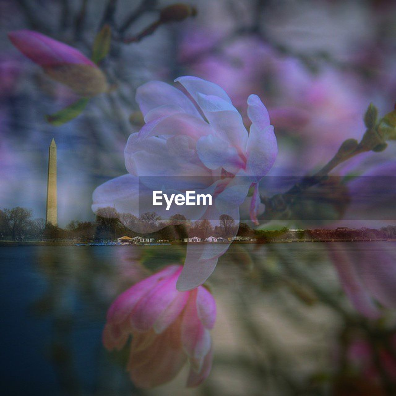 flower, beauty in nature, nature, fragility, petal, reflection, pink color, water, freshness, flower head, outdoors, no people, leaf, plant, lake, lotus water lily, growth, close-up, water lily, day, beauty