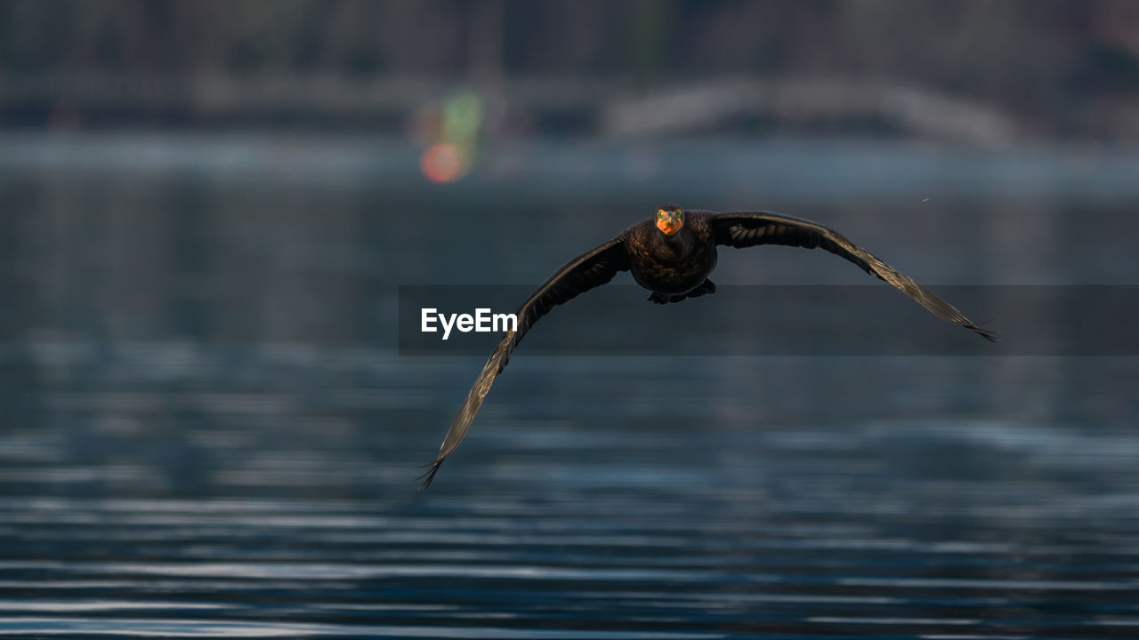 Close-Up Of Cormorant Flying Over Water