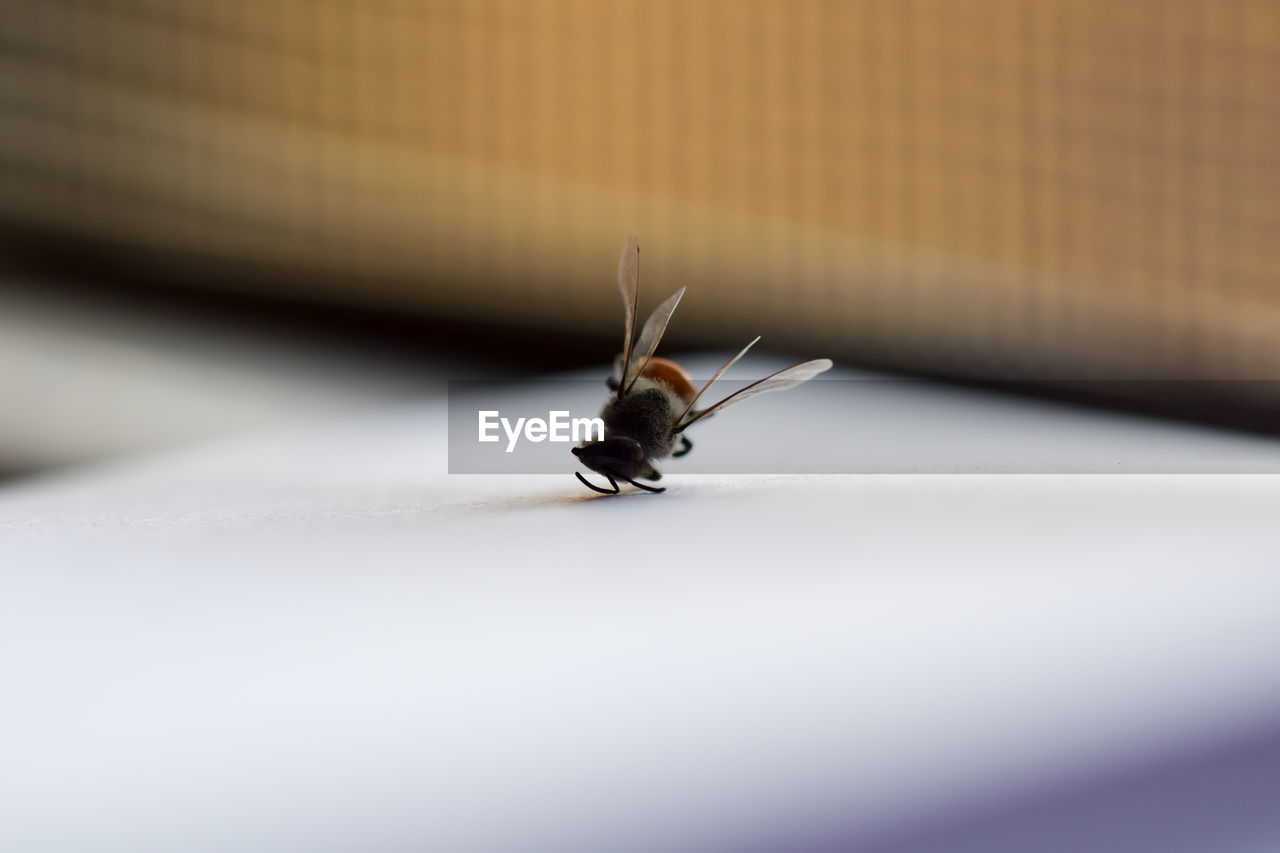 one animal, animal themes, animal, invertebrate, animals in the wild, animal wildlife, insect, selective focus, close-up, no people, animal body part, day, animal antenna, animal wing, outdoors, zoology, nature, bee, table, butterfly - insect