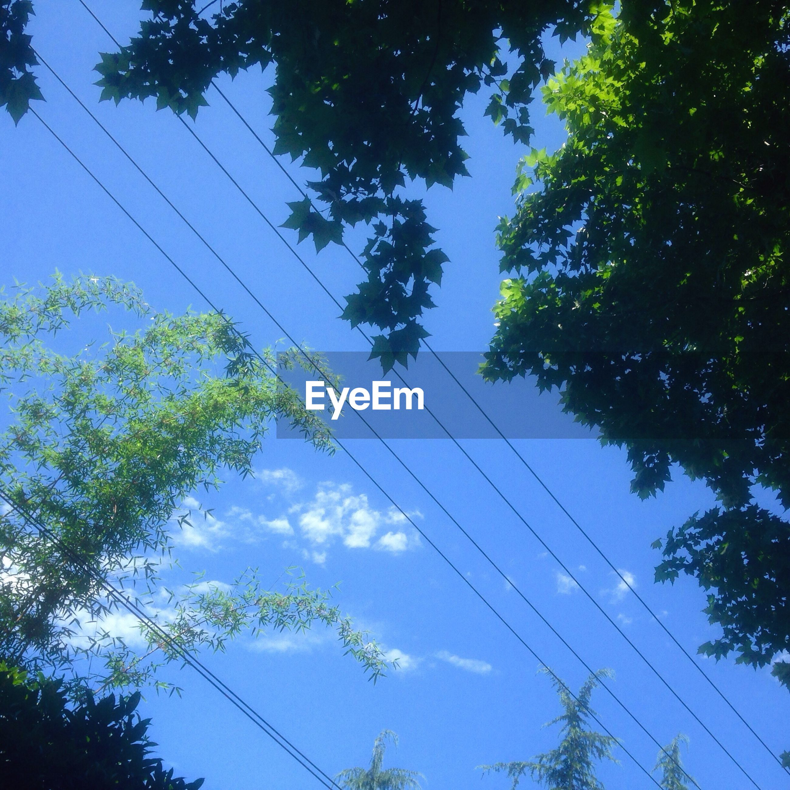 low angle view, tree, sky, branch, blue, power line, nature, growth, cable, electricity, day, outdoors, no people, tranquility, connection, beauty in nature, high section, electricity pylon, directly below, cloud