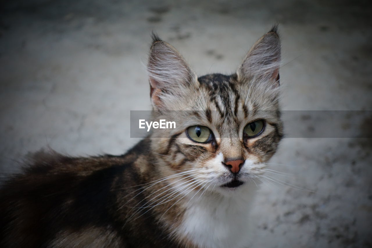 cat, one animal, feline, pets, domestic animals, mammal, domestic cat, domestic, looking at camera, portrait, vertebrate, whisker, no people, close-up, animal body part, focus on foreground, indoors, animal eye, yellow eyes, tabby