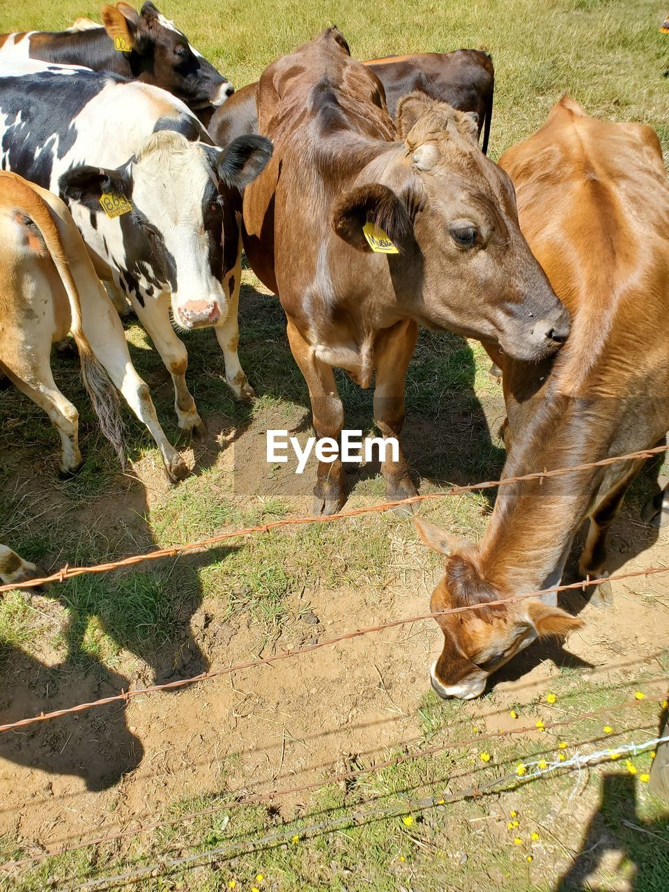VIEW OF COW IN THE ANIMAL