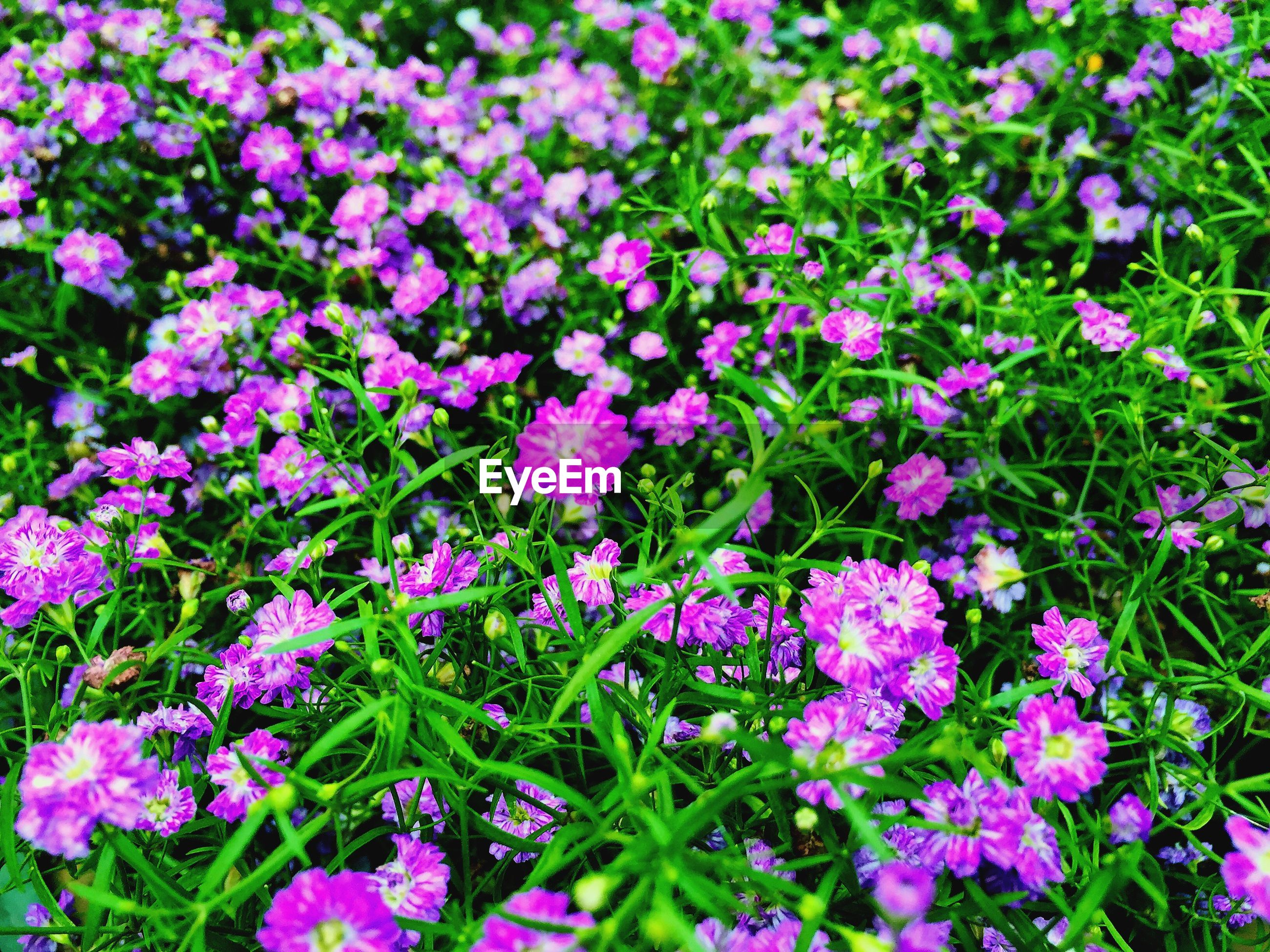 HIGH ANGLE VIEW OF PURPLE FLOWERING PLANT
