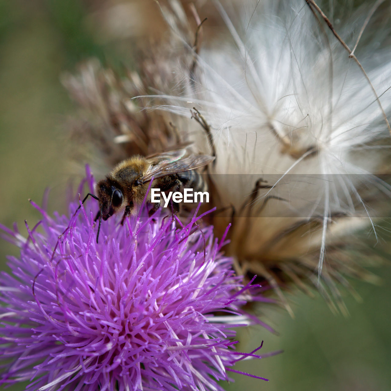 flowering plant, flower, invertebrate, insect, fragility, animals in the wild, vulnerability, animal themes, freshness, beauty in nature, animal wildlife, flower head, plant, animal, petal, one animal, growth, close-up, bee, inflorescence, pollination, purple, no people, outdoors, pollen, bumblebee