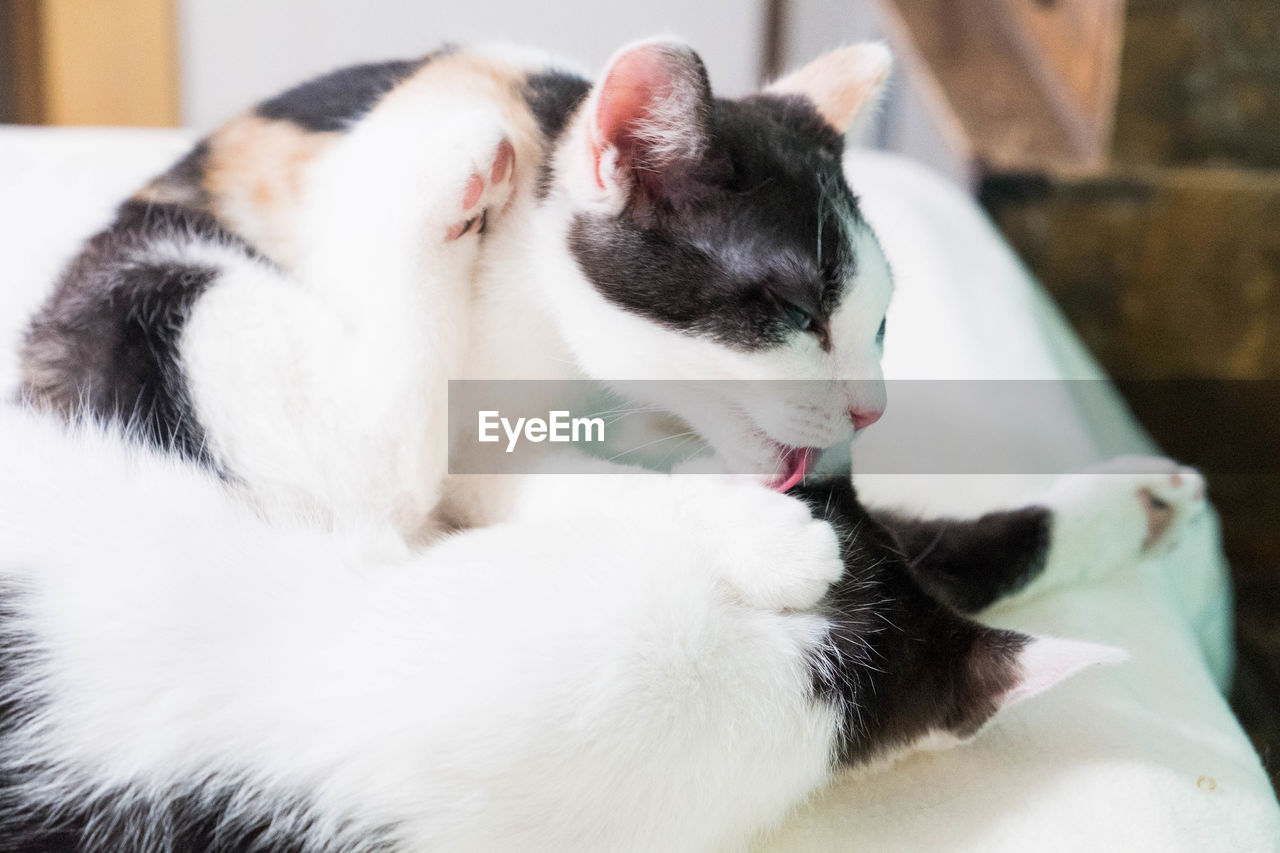 pets, domestic, domestic animals, mammal, cat, animal themes, animal, feline, domestic cat, vertebrate, one animal, relaxation, indoors, close-up, no people, white color, focus on foreground, eyes closed, whisker, mouth open