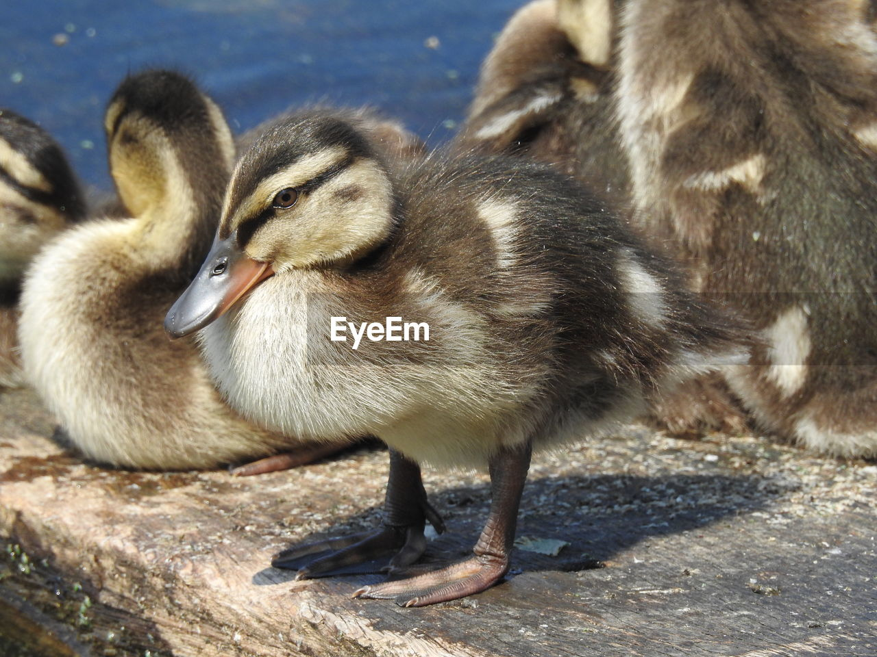 animal themes, animals in the wild, young bird, young animal, bird, animal wildlife, lake, day, no people, togetherness, water, outdoors, nature, close-up