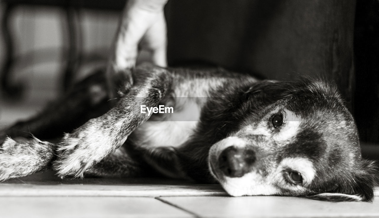 Portrait of a dog relaxing on floor