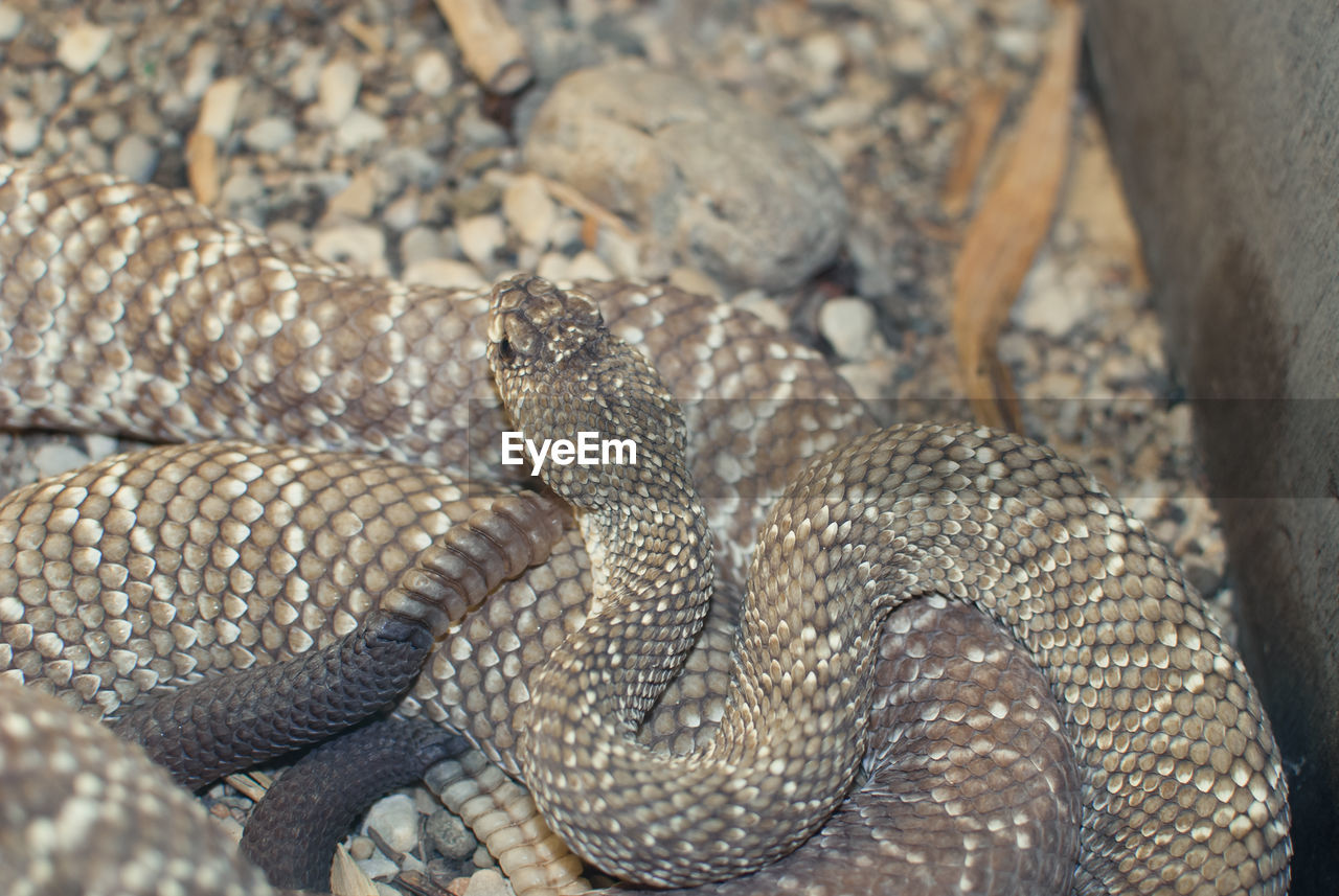 reptile, animal themes, vertebrate, animals in the wild, snake, animal wildlife, animal, one animal, no people, nature, day, close-up, curled up, sign, animal body part, warning sign, communication, animal scale, land, poisonous