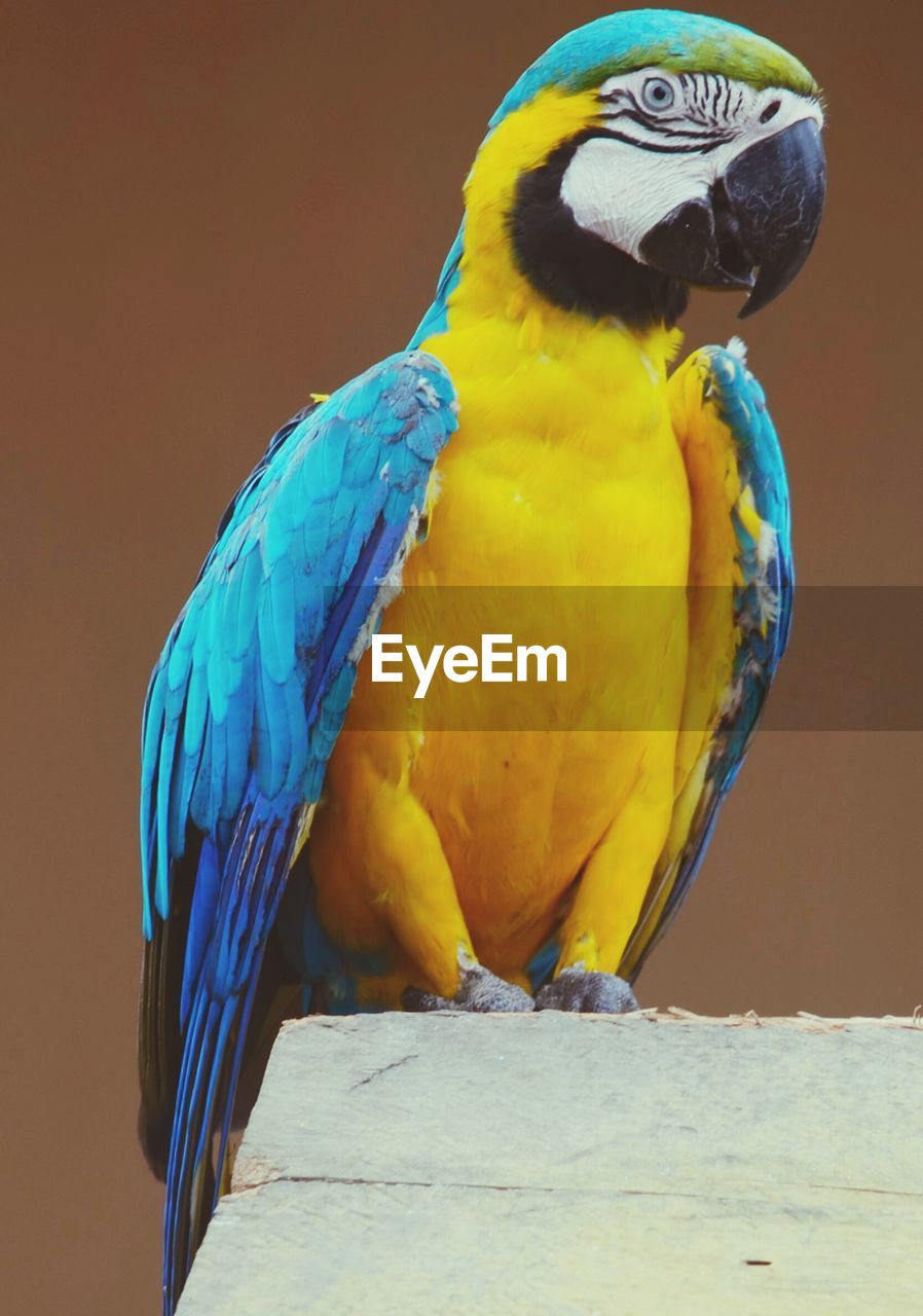Full Length Of Blue And Yellow Macaw