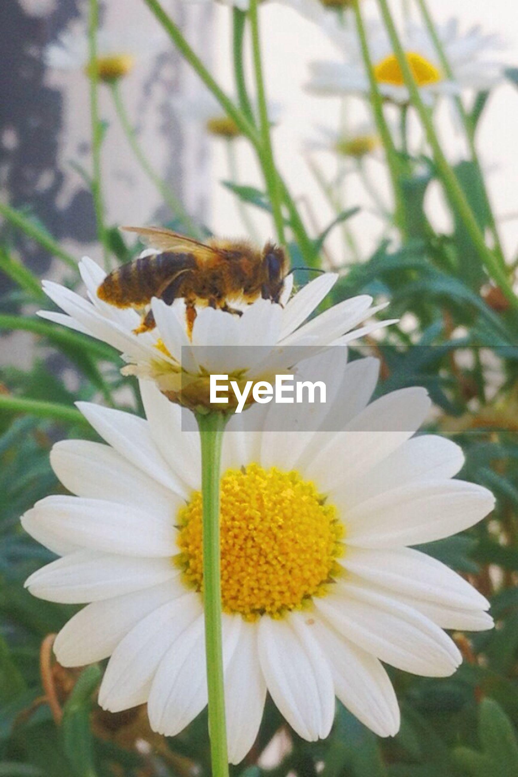 Close-up of honey bee on daisy