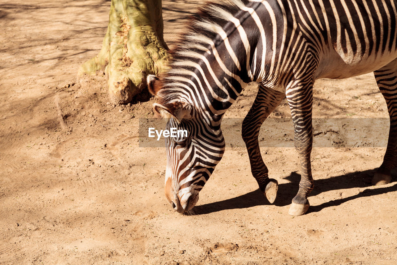 Zebra standing on ground at forest
