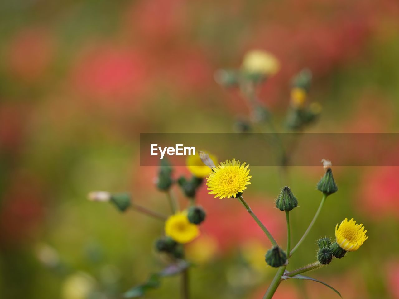 flower, flowering plant, growth, fragility, vulnerability, plant, freshness, beauty in nature, yellow, close-up, no people, flower head, selective focus, nature, petal, inflorescence, plant stem, focus on foreground, day, outdoors, pollination