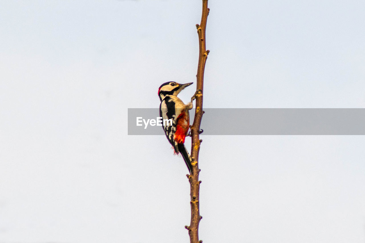 animal wildlife, animals in the wild, animal themes, animal, one animal, copy space, bird, perching, vertebrate, no people, plant, nature, sky, branch, outdoors, day, tree, low angle view, clear sky, invertebrate