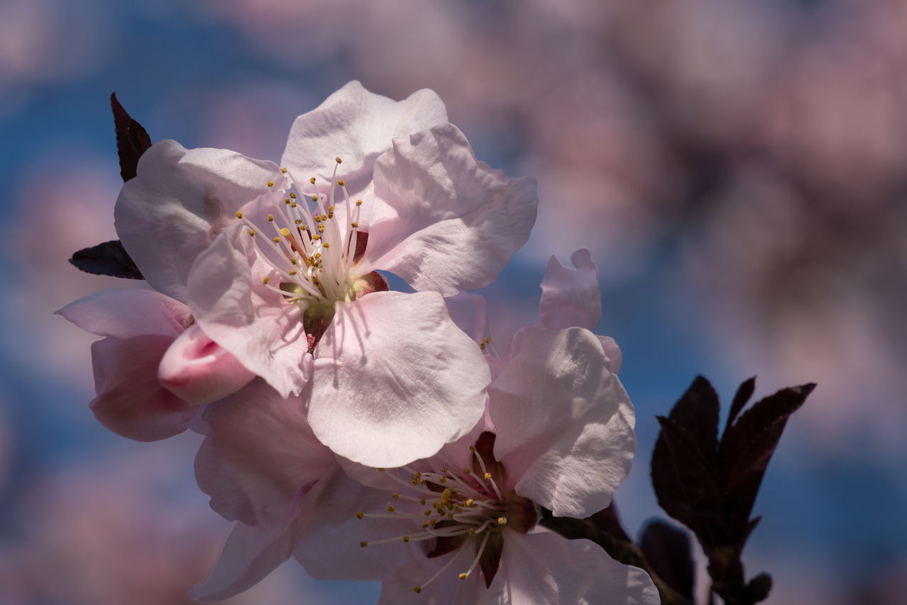 flowering plant, flower, freshness, fragility, vulnerability, plant, beauty in nature, petal, growth, close-up, inflorescence, flower head, pollen, focus on foreground, nature, springtime, day, no people, white color, tree, outdoors, cherry blossom, plum blossom, cherry tree