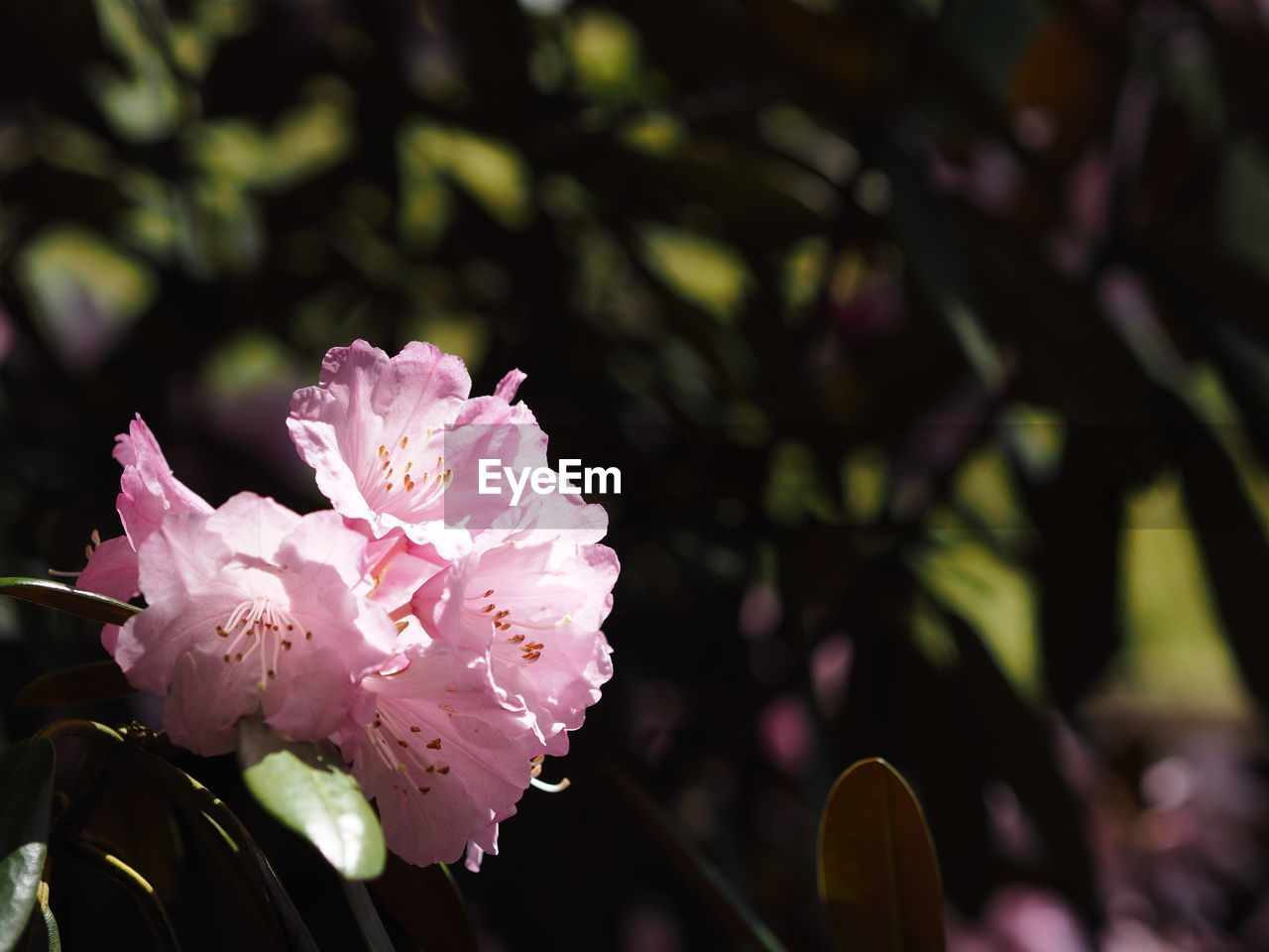 flower, flowering plant, plant, freshness, growth, beauty in nature, vulnerability, fragility, petal, close-up, pink color, focus on foreground, flower head, inflorescence, nature, day, blossom, springtime, no people, outdoors, pollen
