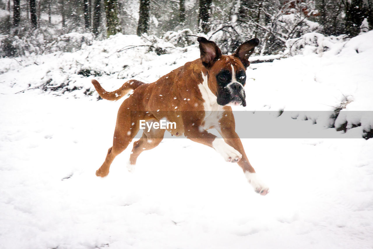 Boxer running on snow covered field