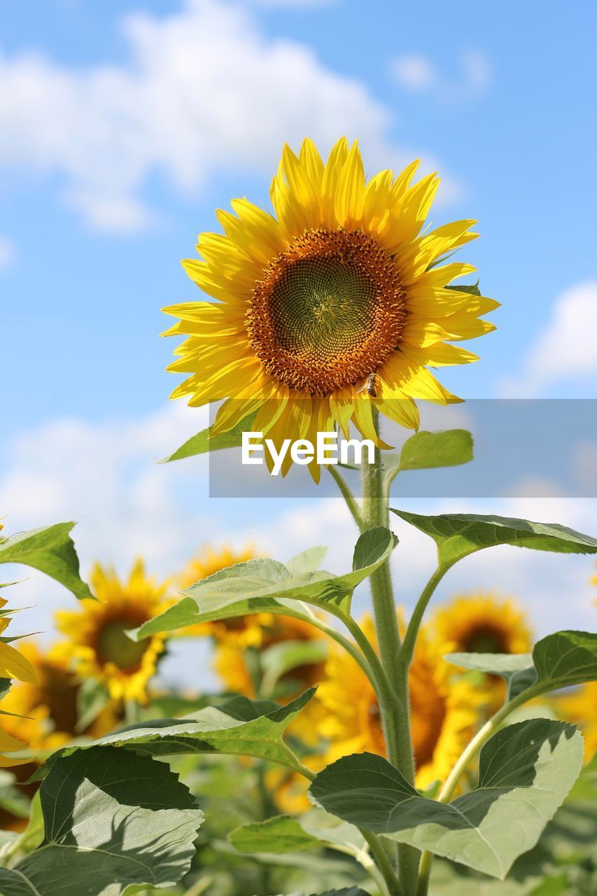 yellow, flowering plant, plant, flower, growth, beauty in nature, fragility, freshness, flower head, vulnerability, sunflower, sky, petal, nature, inflorescence, close-up, plant part, leaf, field, cloud - sky, outdoors, pollen, no people, sepal