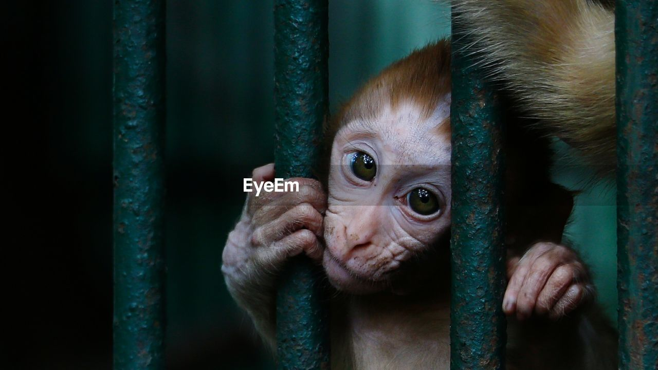Close-Up Portrait Of Monkey Infant In Cage