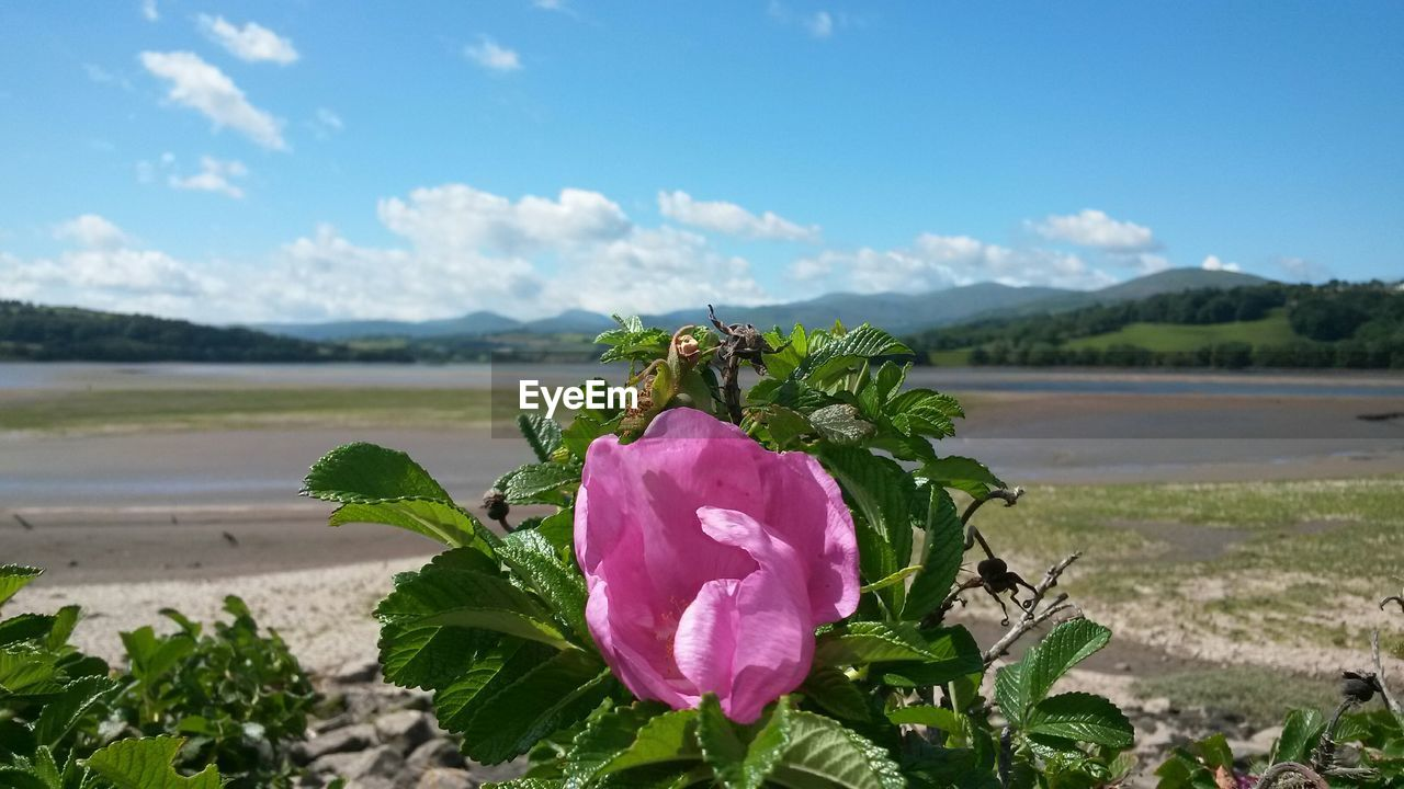 flower, nature, beauty in nature, growth, petal, fragility, flower head, day, outdoors, sky, no people, plant, focus on foreground, freshness, water, tranquility, beach, scenics, close-up, blooming