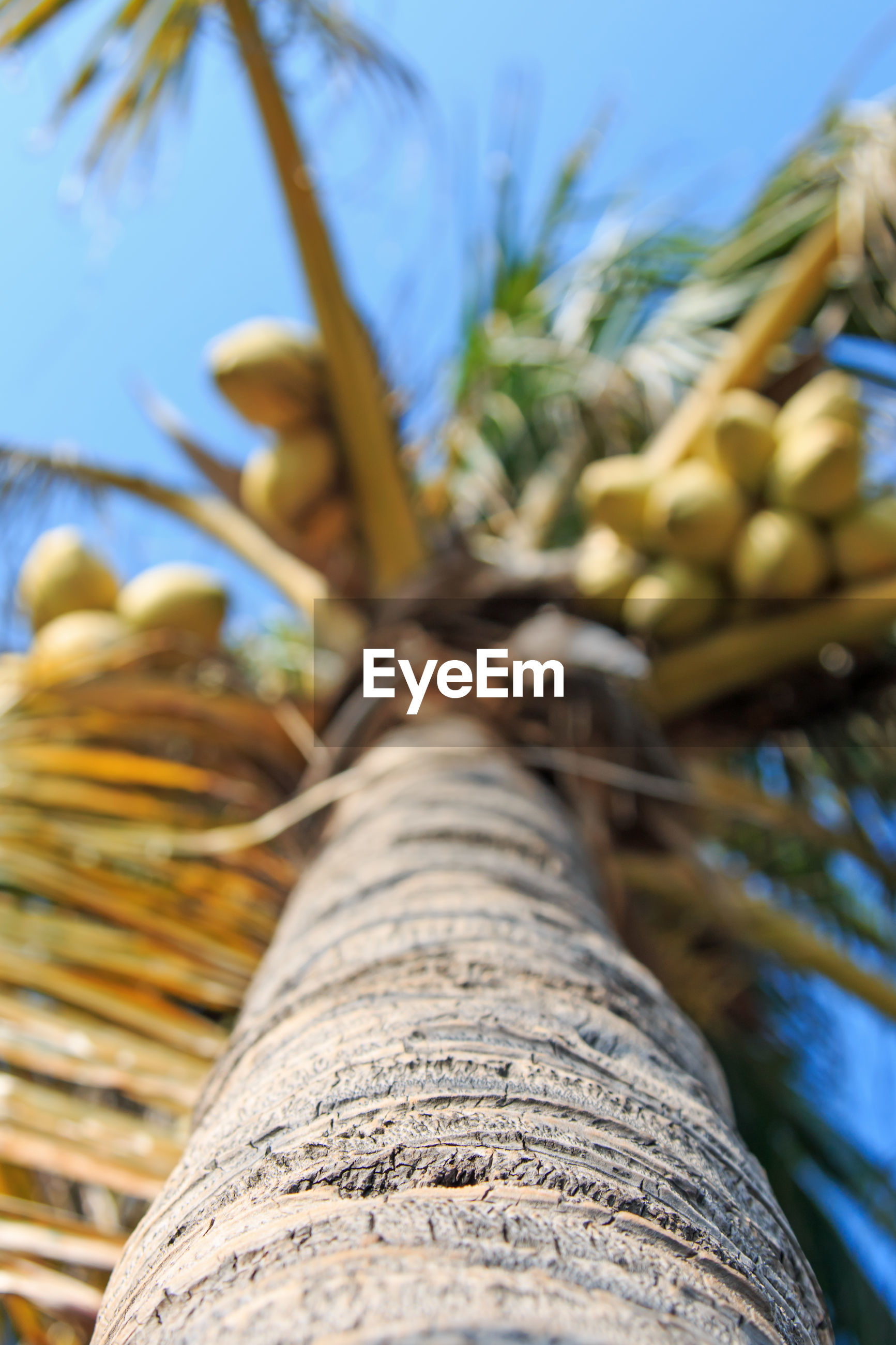 Low angle view of coconut palm tree