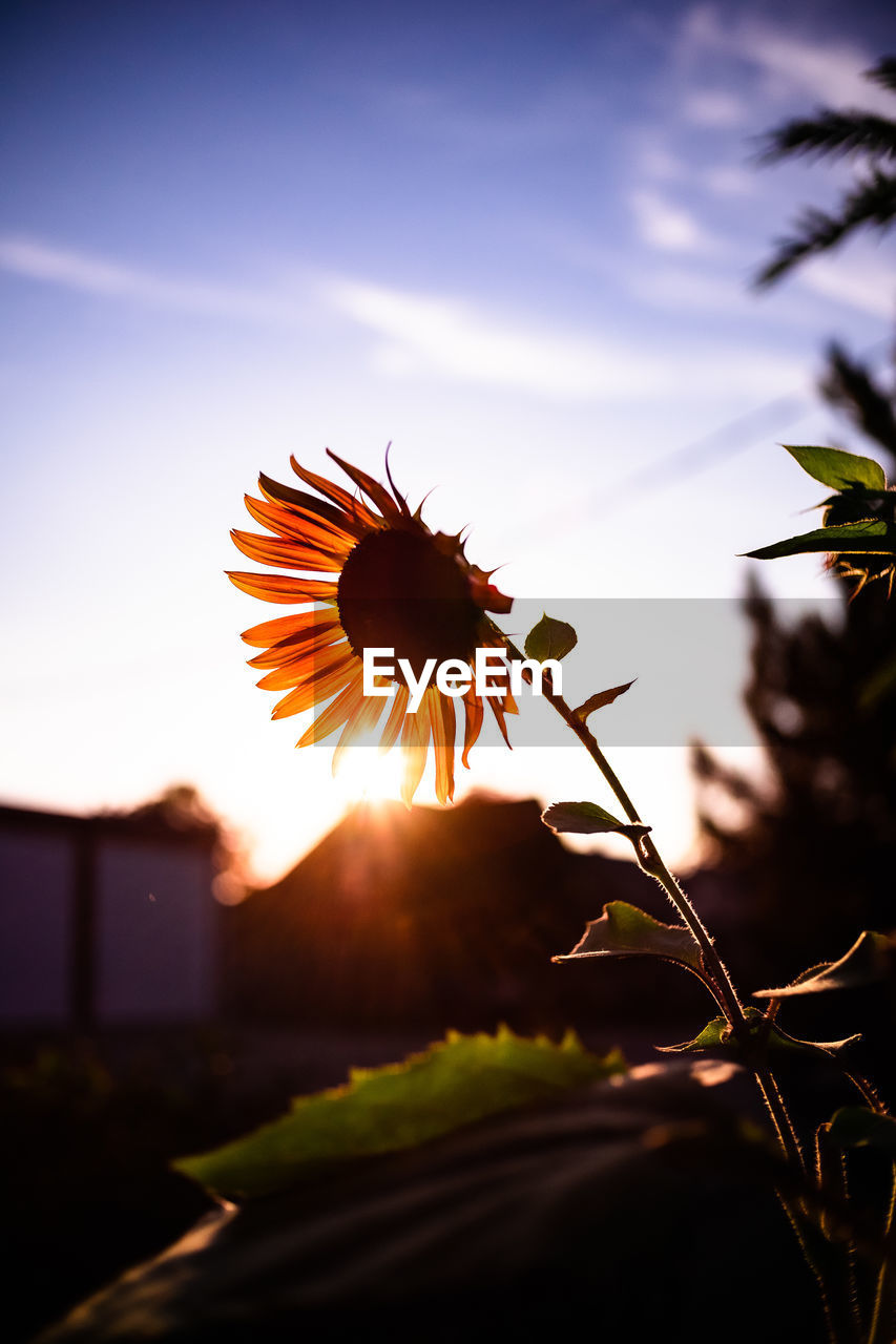beauty in nature, plant, sky, close-up, sunset, flowering plant, flower, nature, focus on foreground, growth, fragility, freshness, no people, sunlight, vulnerability, flower head, petal, inflorescence, outdoors, selective focus