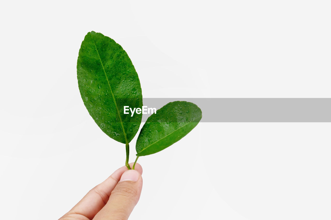 Close-up of hand holding leaves over white background