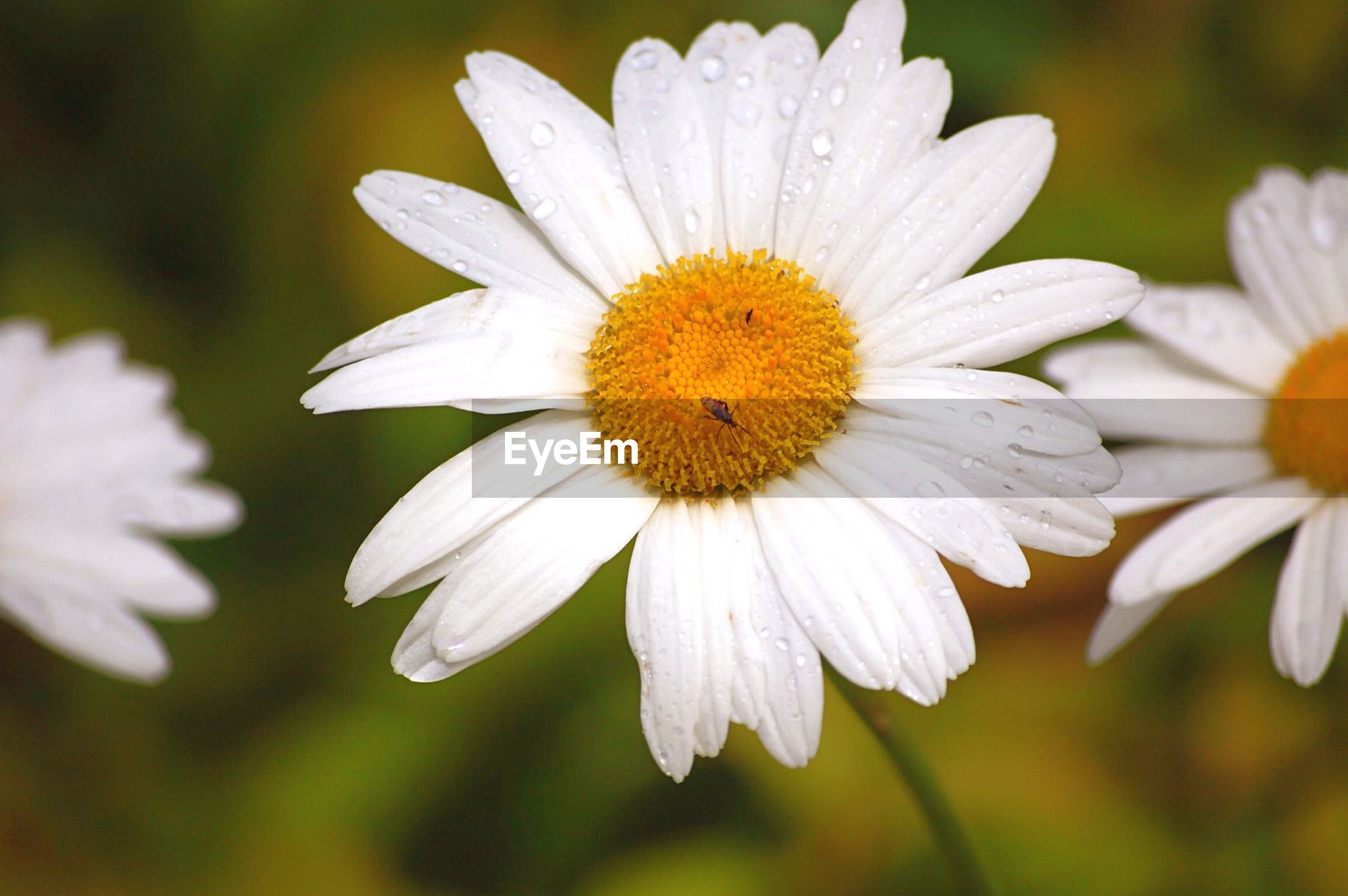 Macro shot of water drops on white daisy flowers