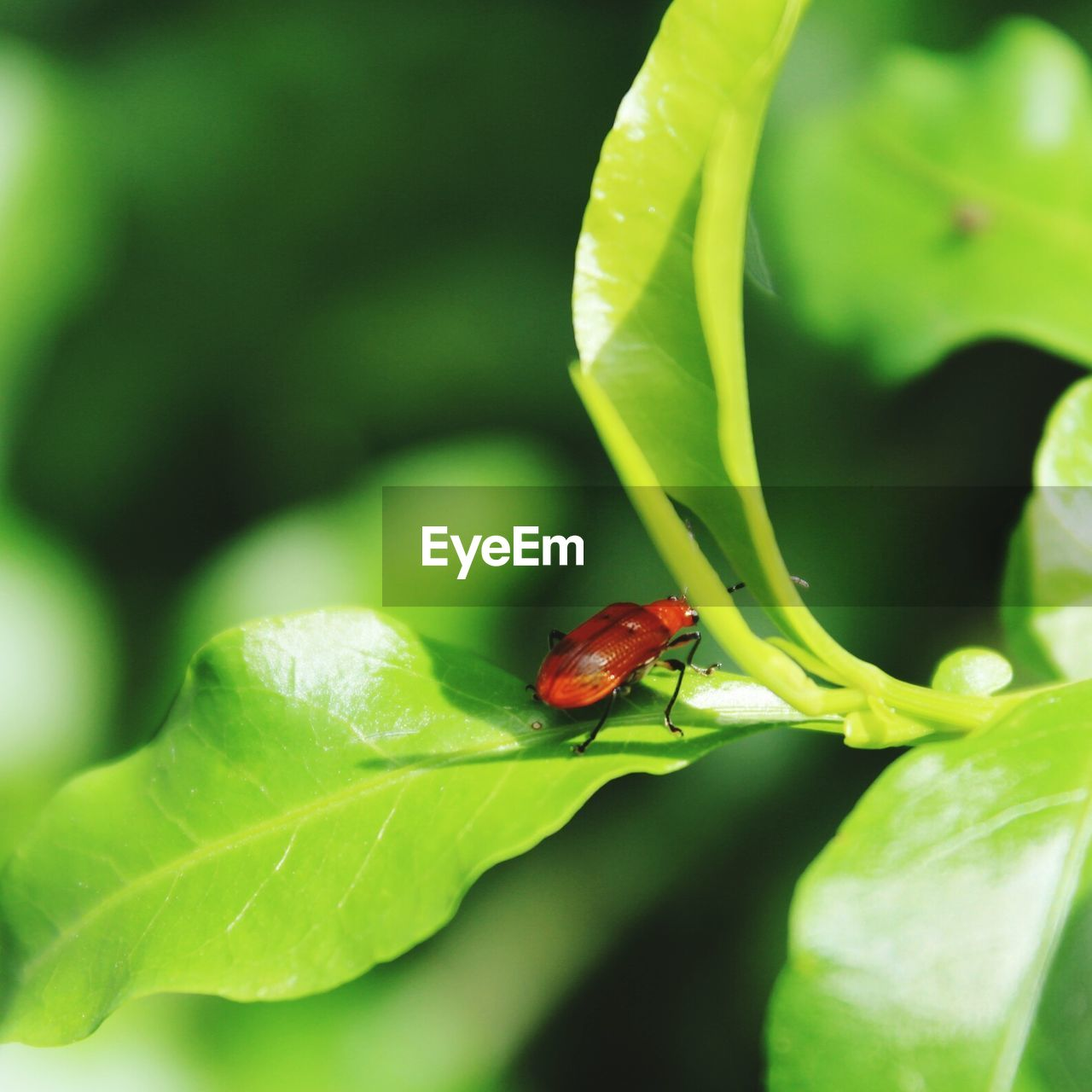 green color, insect, animal themes, plant part, leaf, animal, animals in the wild, invertebrate, animal wildlife, one animal, close-up, plant, no people, ladybug, nature, growth, beetle, red, day, selective focus, outdoors, small