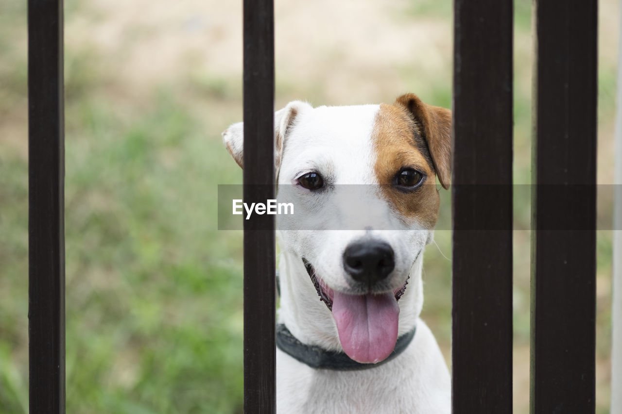 one animal, dog, canine, mammal, pets, domestic, domestic animals, portrait, looking at camera, vertebrate, focus on foreground, close-up, no people, day, animal body part, barrier, sticking out tongue, panting, mouth open, animal mouth, snout